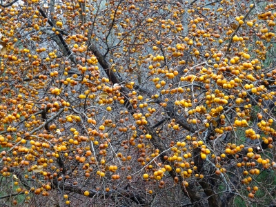 autumn landscape, tree, apple tree, yellow apples, close up, macro